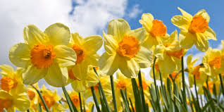 Daffodil Day – Friday 26th March